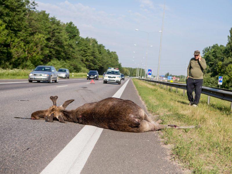 Žala gamtai už neteisėtą briedžių medžioklę siekia per 10 tūkst. eurų
