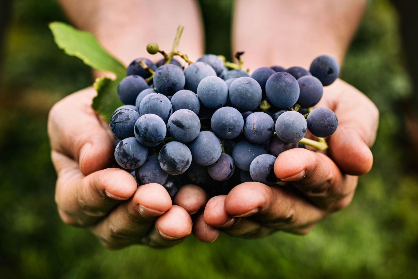 vynuogių pasirinkimo galimybės