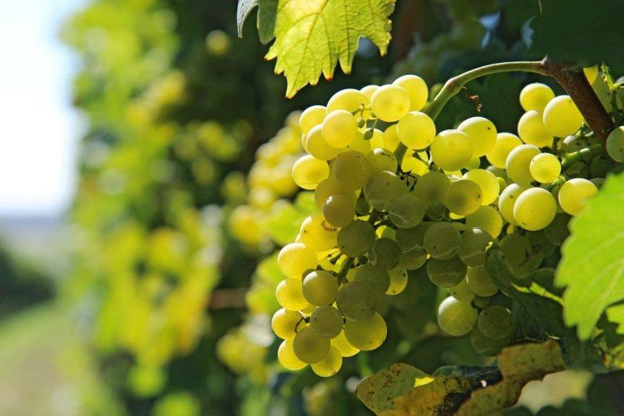 vynuogių pasirinkimo galimybės galbūt uždirbti internete